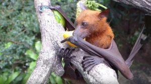 '개'와 똑 닮은 박쥐, 아프리카에서 발견되다