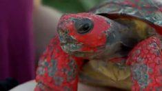 (영상) 온몸이 빨간 이물질로 뒤덮인 거북이의 정체