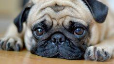 강아지도 속상한 일 있거나 걱정거리 있으면 사람처럼 '잠' 설친다