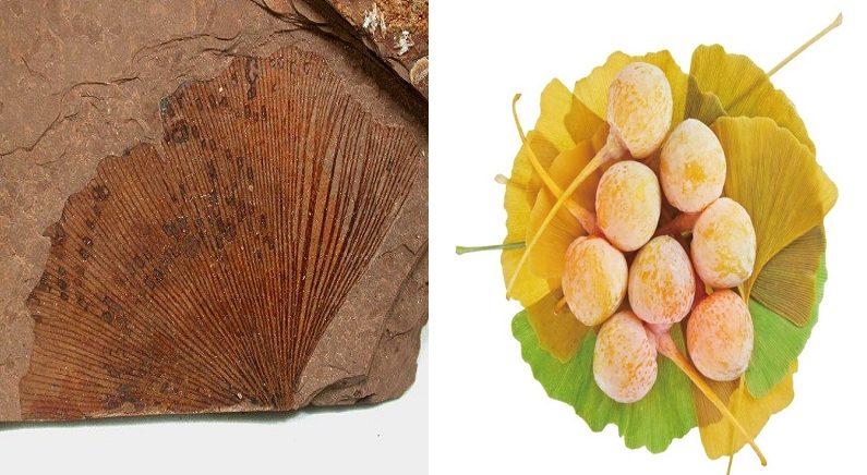 약 3억년 동안 살아남은 은행나무의 비밀