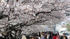 '전국이 분홍빛으로'…벚꽃축제 오늘 일제히 개막