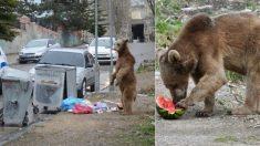 """""""배고파서 그만…"""" 해가 지기 전 주택가 쓰레기통 뒤진 '갈색곰'"""