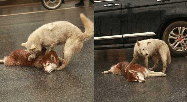 """""""친구야 빨리 일어나…"""" 차에 치여 쓰러진 친구 깨우려고 안간힘 쓰는 강아지"""