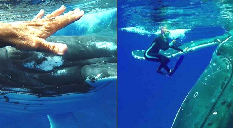 스노클링 하던 사람 지느러미에 태우고 헤엄친 혹등고래 뒤에는 식인상어가 있었다
