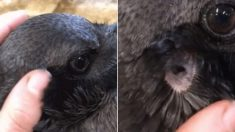 까만 깃털 속에 감춰왔던 까마귀의 '귀'는 이렇게 생겼다 (영상)