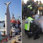 울진 앞바다서 그물 걸려 죽은 지 한 달 만에 발견된 밍크고래