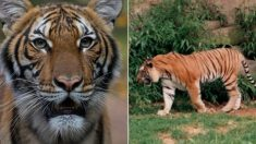 뉴욕 동물원에 사는 4살 호랑이가 세계 최초 '확진 판정' 받았다