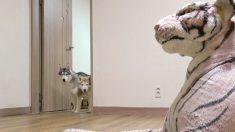 """""""산책하고 돌아왔는데, 집에 호랑이가 기다리고 있었어요"""" (영상)"""