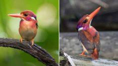 코로나로 숲속에 사람 발길 끊기자 130년 만에 돌아온 '마젠타 난쟁이 물총새'