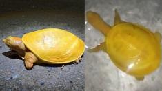 """""""이것은 레몬인가, 거북인가?"""" 등 껍질까지 노란 희귀 거북 발견되다"""