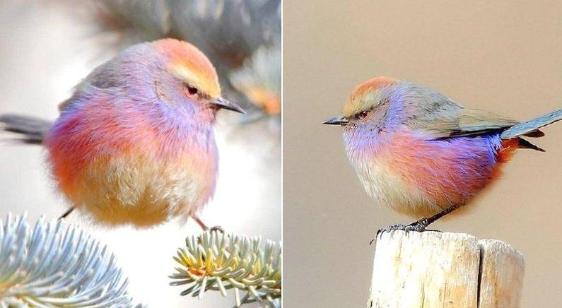 동그란 몸집에 색색깔 다른 깃털 뽐내는 귀엽고 예쁜 새 '화채작앵'