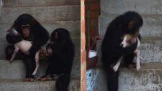 아픈 강아지 다칠까 품에 꼭 끌어안고 조심스럽게 계단 내려가는 아기 침팬지