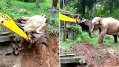구덩이 빠졌다가 포크레인이 구해주자 부비부비 '코 인사' 건넨 아기 코끼리